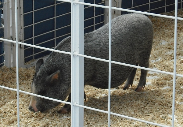 Solano Stroll petting zoo pig