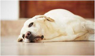 Hình 1: Bệnh viêm dạ dày ruột cấp tính trên chó