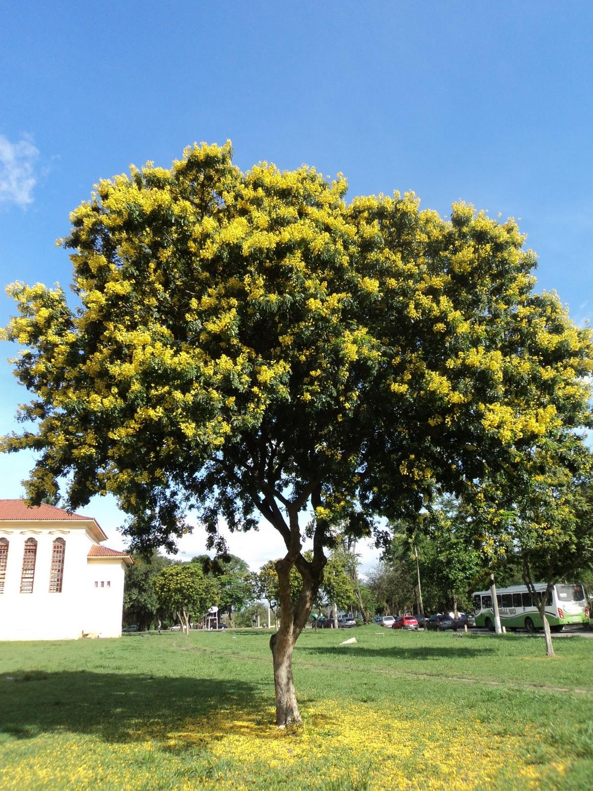 Image: Mato & cia: Pau Brasil ( Caesalpinia echinata Lam.)
