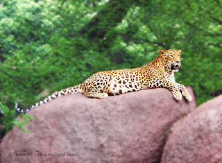 Indian Leopard resting on rocks