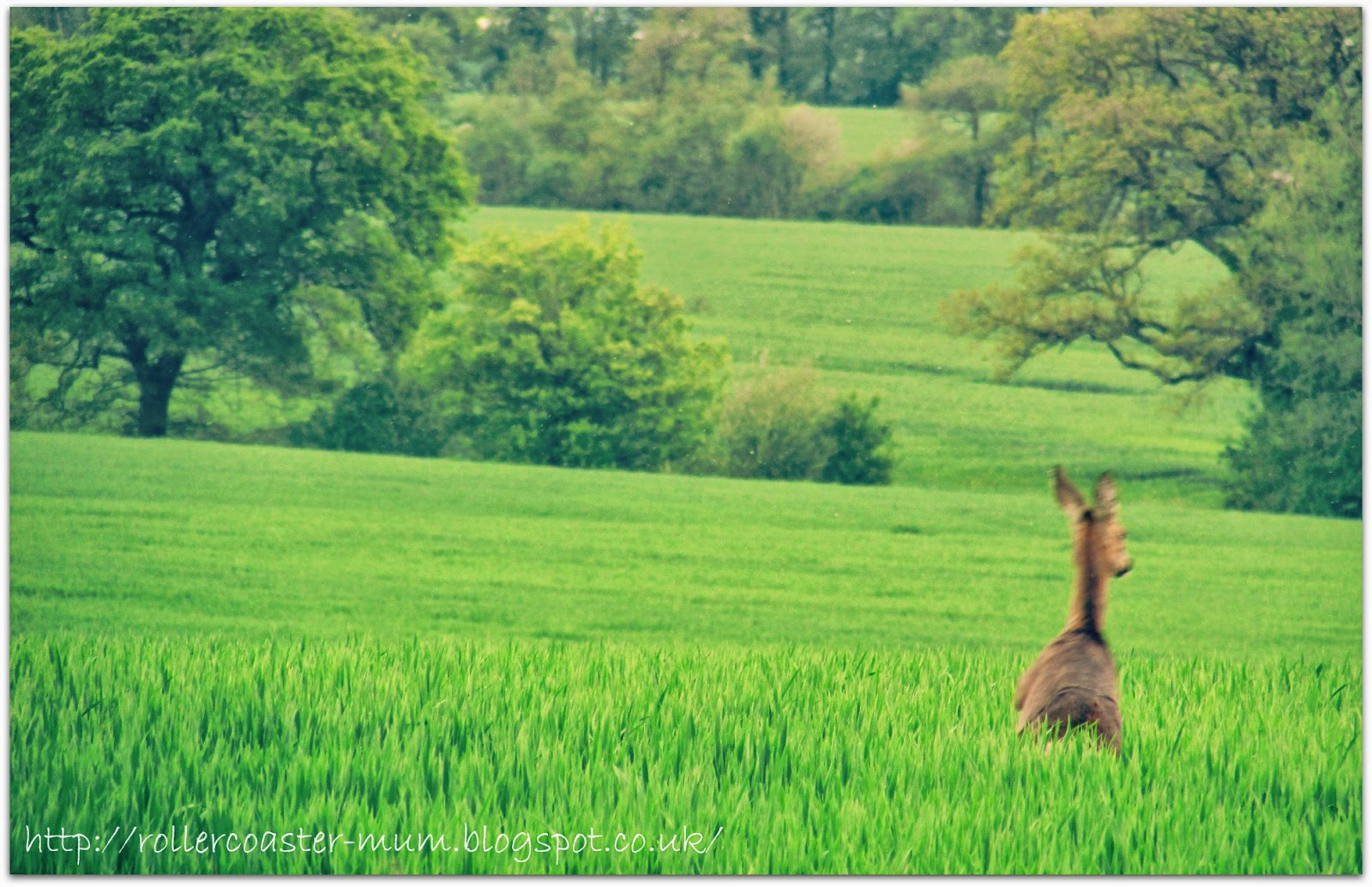 Roe deer retreating