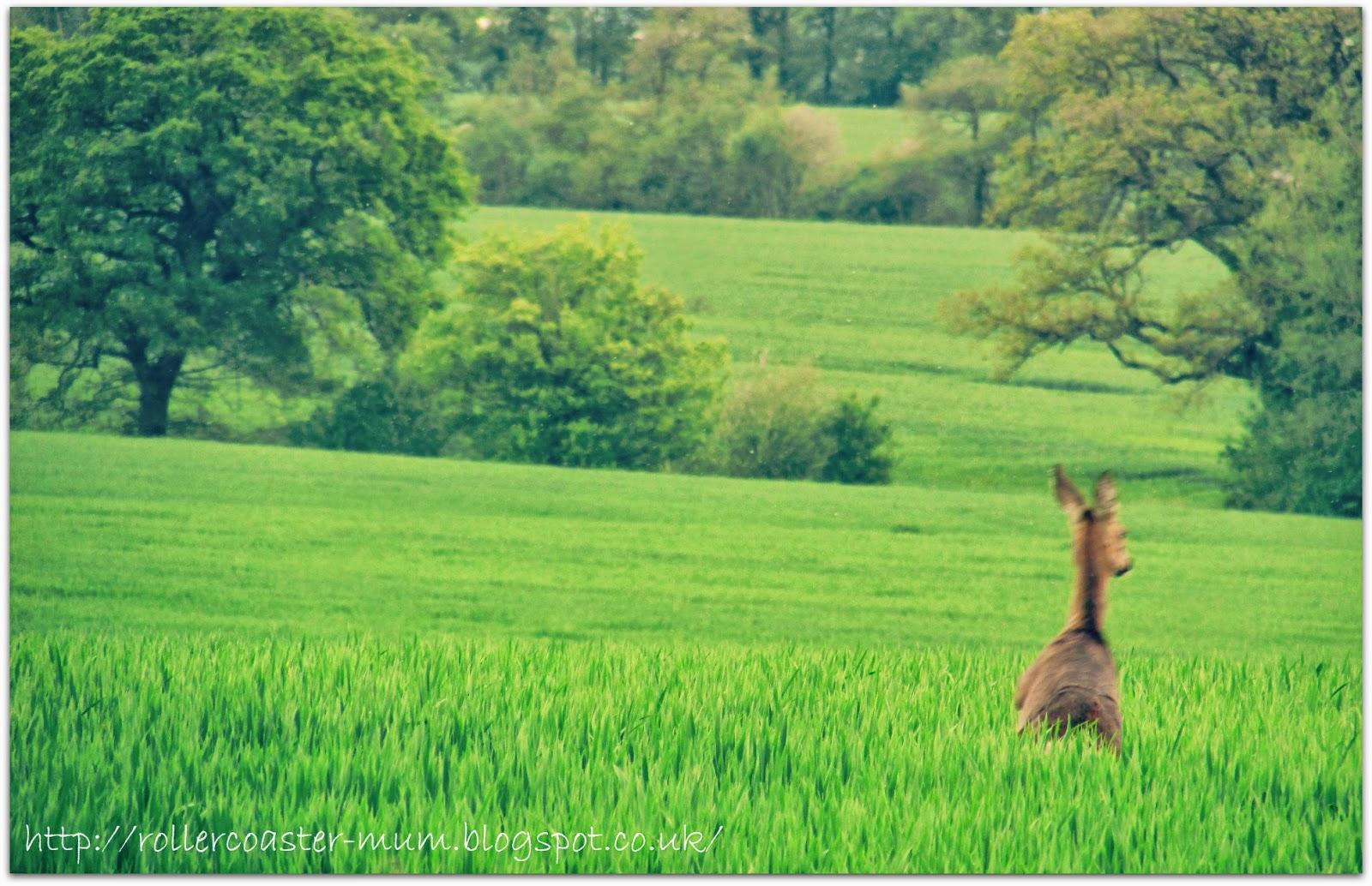 Roe deer retreating
