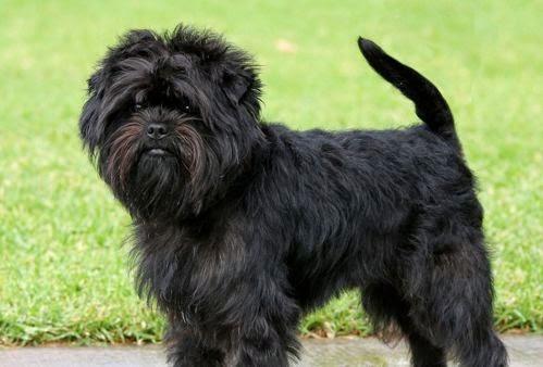 El Perro Affenpincher