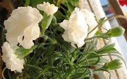 τα carnations....