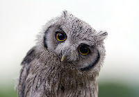 Baykuş, Gri Yavru Baykuş, Tuhaf ve İlginç Bakış, Baykuşun Gözü ve Bakışı