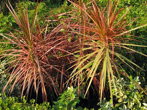 Red-Edged Dracaena