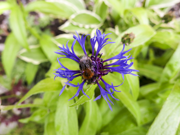 blåklint, cornflower