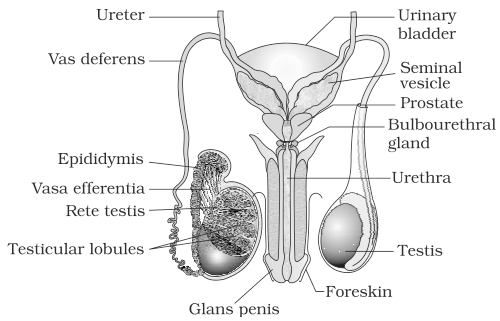 ncert solutions for class 12th  ch 3 human reproduction
