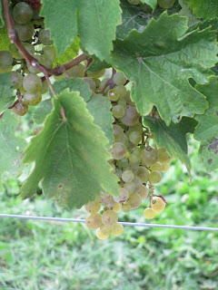 Grapes at Vineland Estates in Niagara, ON