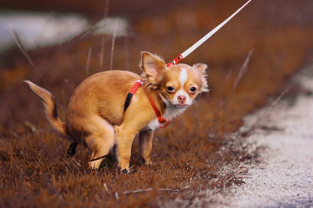 Botanist breed brown lawn to get dog waste problem under control