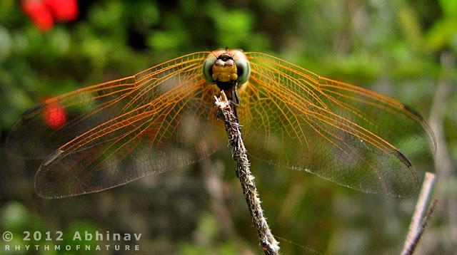 Crimson Marsh Glider (Female)