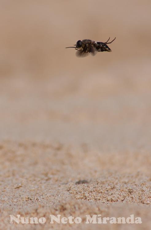 """alt=""""wasp, vespa, praia, beach"""""""