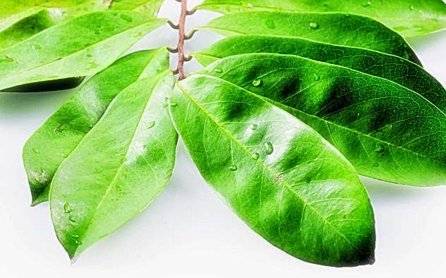 Benefits of Soursop Leaf Benefits To Beauty