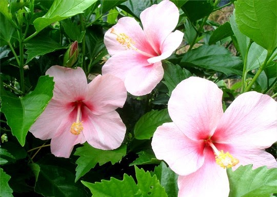 Các loài hoa dâm bụt