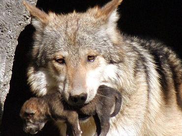 Resultado de imagen para Lobo Gris Mexicano declarado fuera de peligro de extinción larga vida para el Lobo