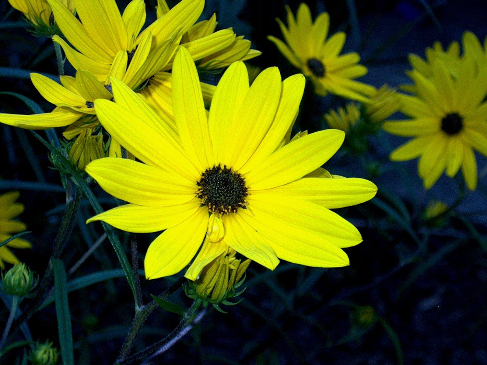 Native In The City Swamp Sunflower Helianthus Angustifolius