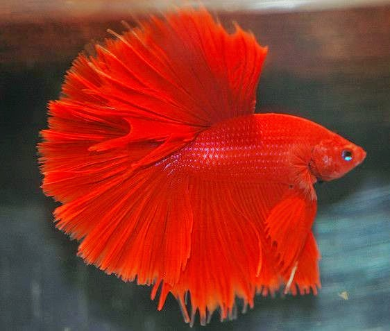 Betta Supe Red Halfmoon