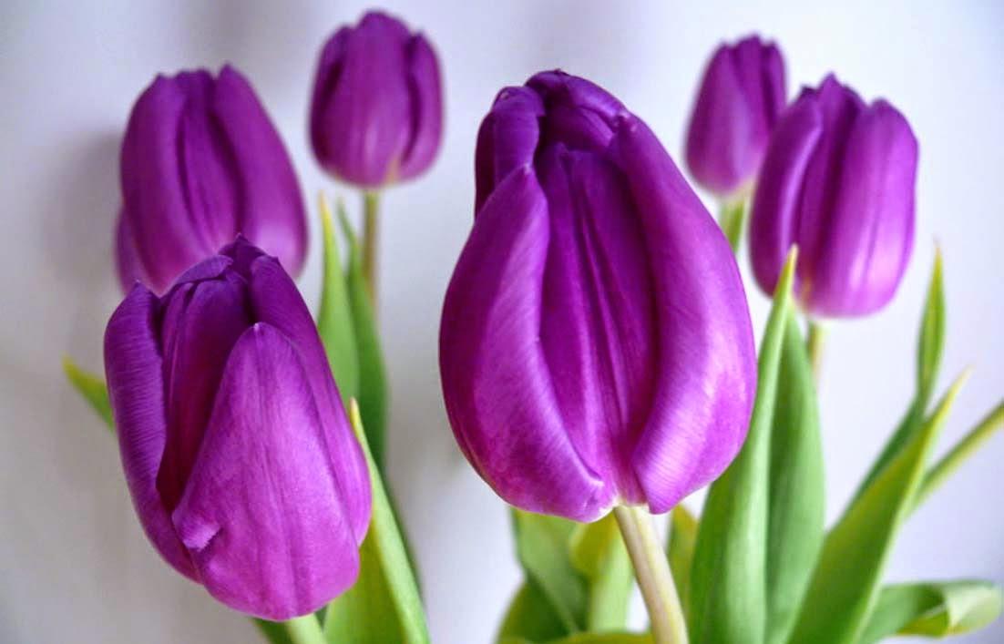 Gambar bunga tulip ungu