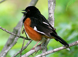 http://www.allaboutbirds.org/guide/eastern_towhee/id