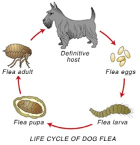 The dog in world: Dog Fleas