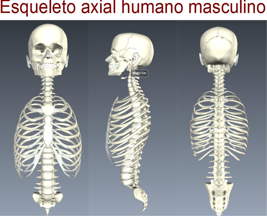 Ciencias de Joseleg: Esqueleto axial humano