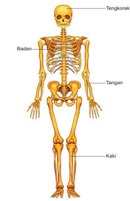 Kerangka Tulang Manusia
