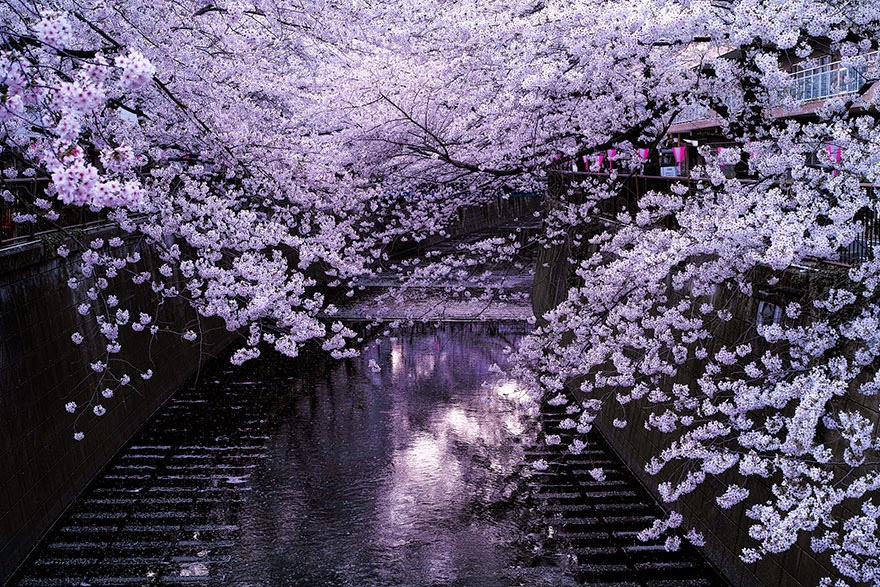 The Most Beautiful Japanese Cherry Blossom Photos