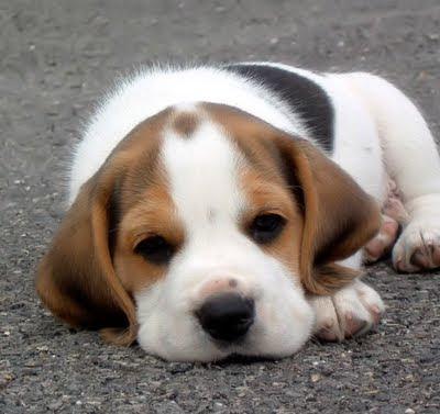 Anjing Beagle Lucu