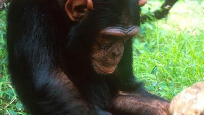 Com tecnologia própria, macacos entraram em sua 'Idade da Pedra'