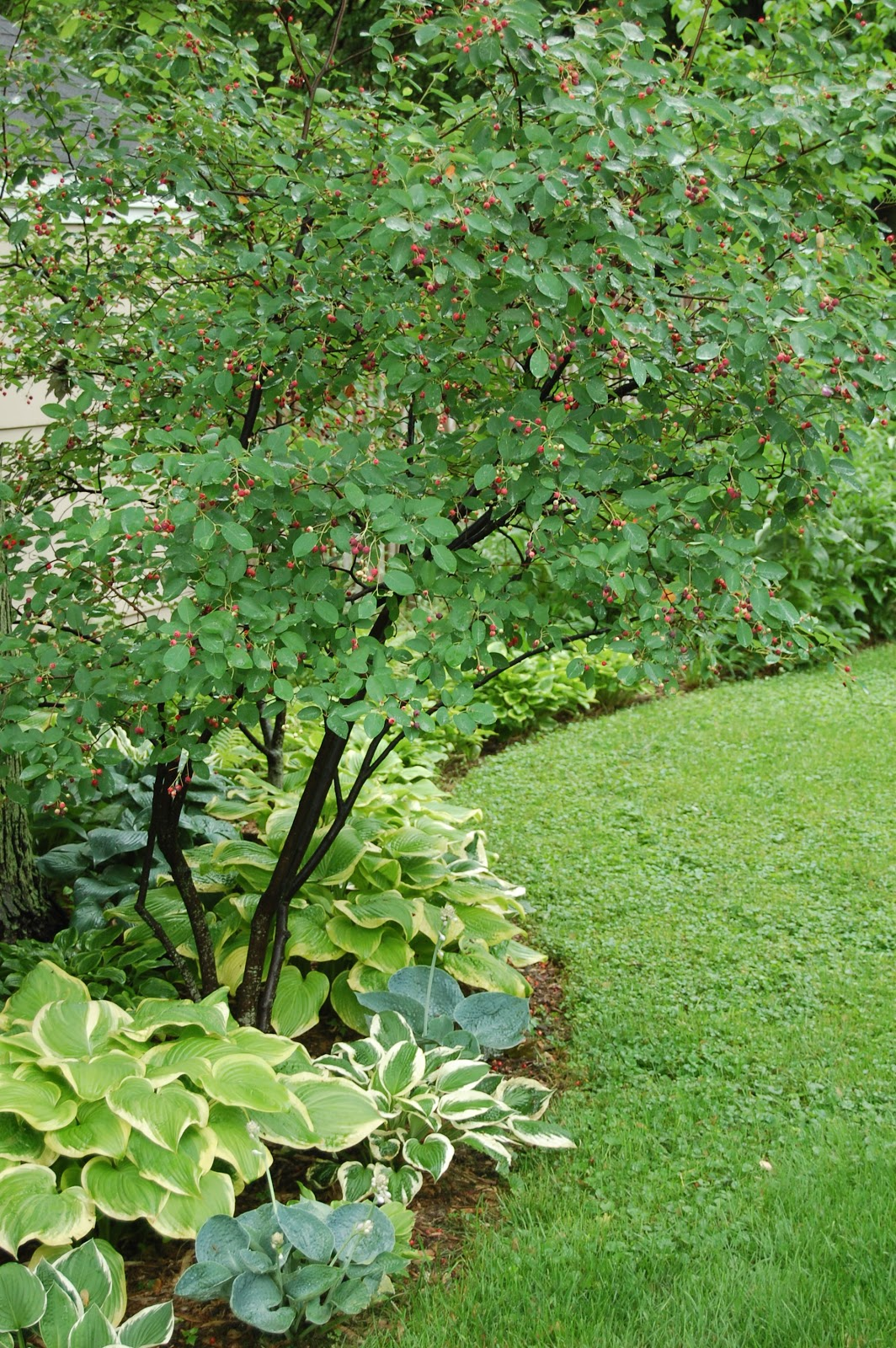 Gardener in a forest june 2011 for Serviceberry tree