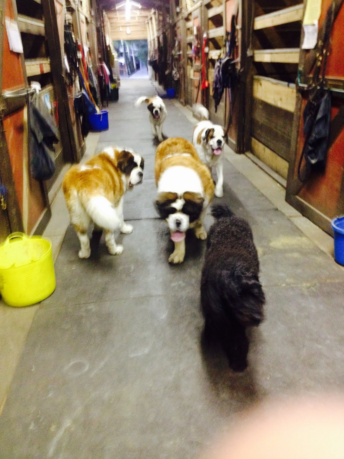 Molly and 4 st Bernard's !