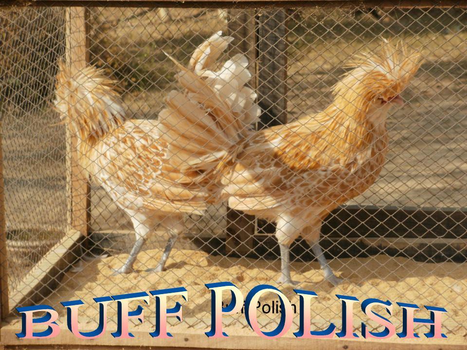 Buff Laced Polish Chicken Buff Laced Polish Non Beard