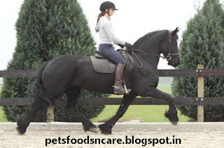 Friesian Horse Care and Feeding