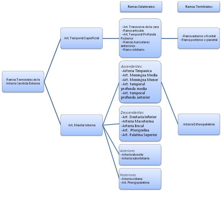 Ramas de la arteria carotida interna pdf - Context Clues Graphic ...