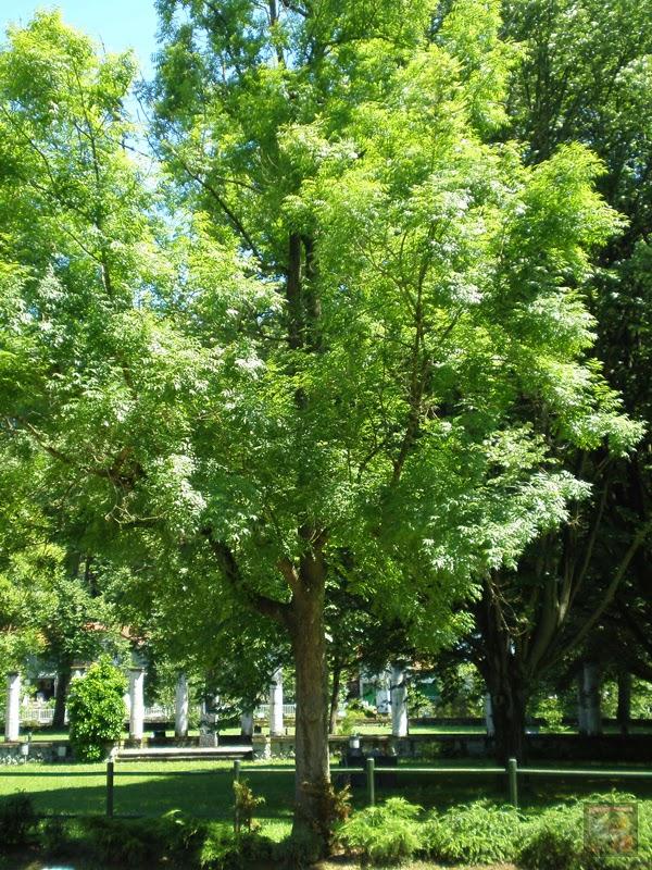 Fresno del parque Arenatzarte en Güeñes (Bizkaia)