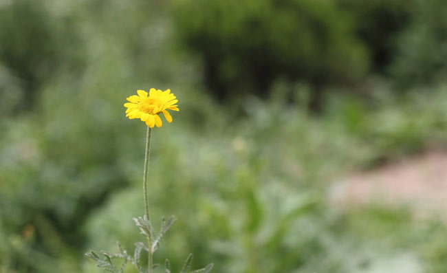 Yellow Chamomile Flowers Pictures