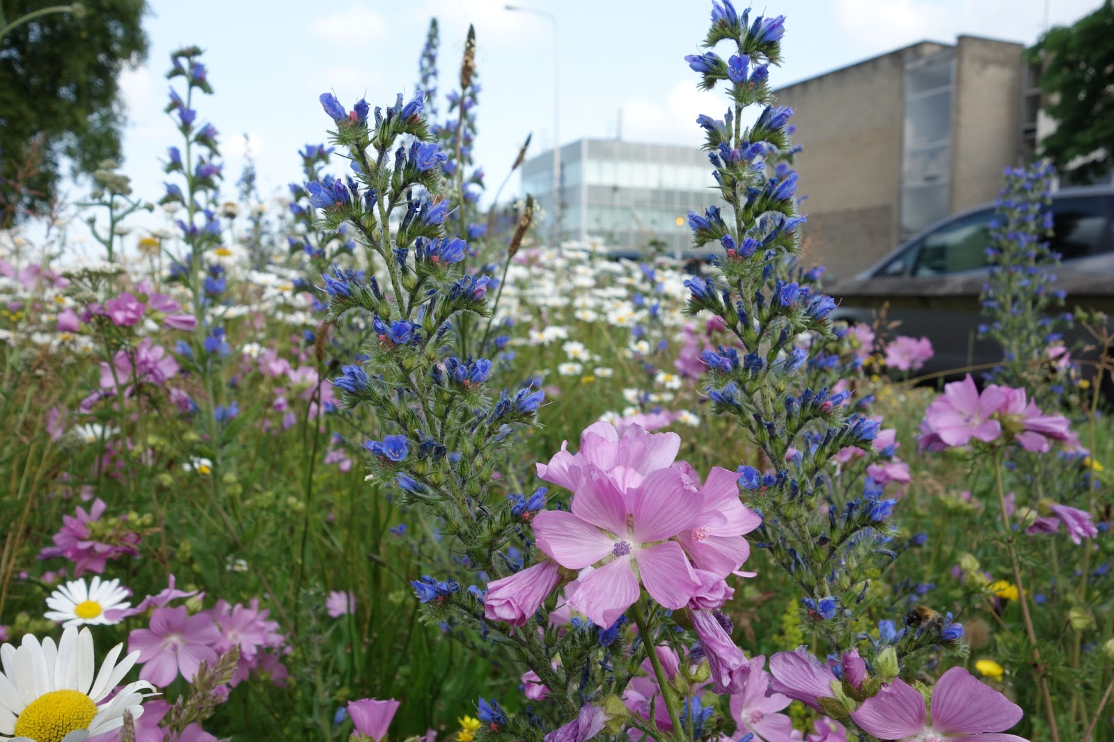 Urban Pollinators What Plants Are Flowering In Our Perennial Meadows