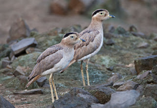Buy this image of Peruvian Thick-knee at www.agami.nl