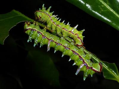 Gynanisa maja caterpillar