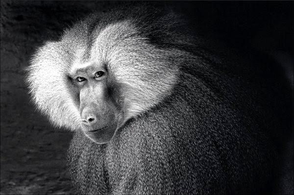 обезьяна хитро смотрит через плечо, я совершенство это иллюзия, абстракция, эгоизм