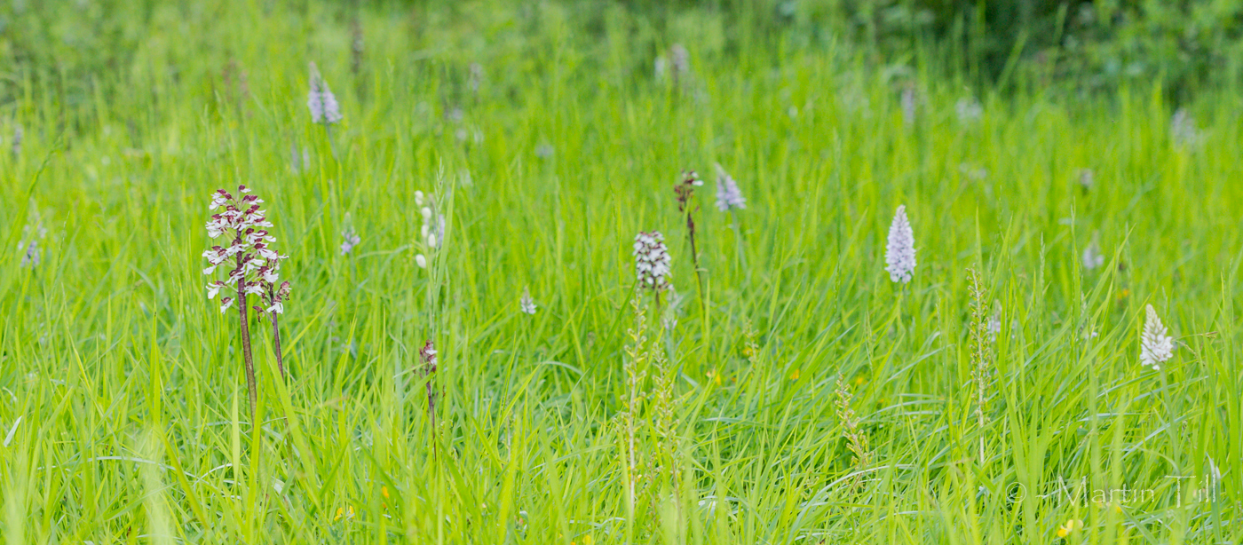 Lady, common spotted and common twayblade