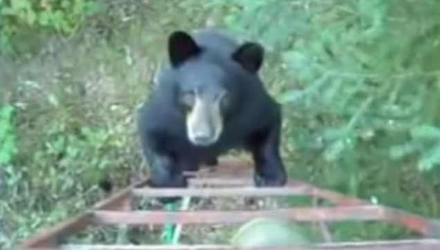 bear tries to climb the hunter