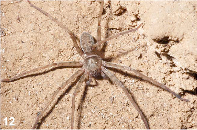 Giant South African Spider