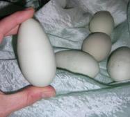 Hinkelstein Ei