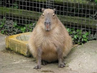 capybara wallpaper pool - photo #43