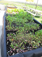 Fresh herbs grown right beside our table