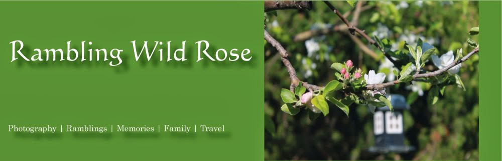 Rambling Wild Rose