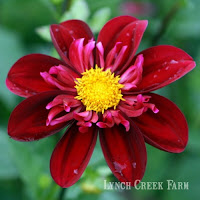 La Bomba, a cred/dark red bicolor collarette dahlia