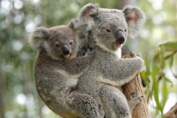 amazing koala endangered species koalas facts photos information habitats news most. Black Bedroom Furniture Sets. Home Design Ideas