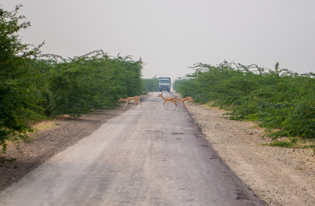 Deer cross the road in front of an oncoming truck on a road to Pushkar, Rajasthan in India